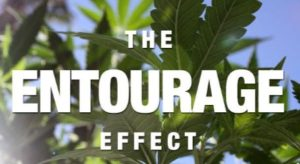 CBD-rich Hemp Oil Entourage Effect, Synergy Between Cannabinoids, Terpenoids, Flavonoids, Waxes, Chlorophyll