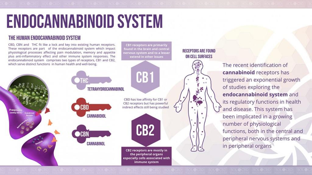 endocannabinoid-system-1030x580_1_1024x1024