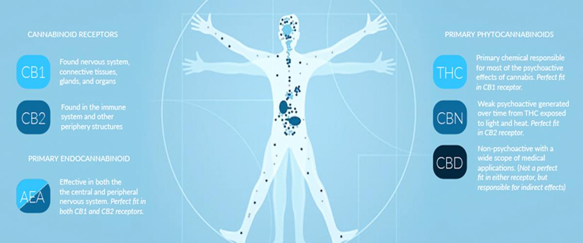 What Is The Endocannabinoid System Ecs Cbd Hemp Oil Facts
