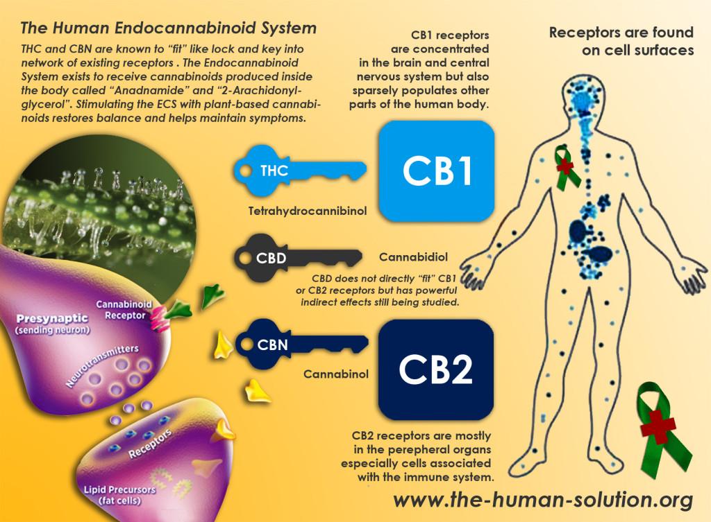 human-endocannabinoid-system-growshop-growmart